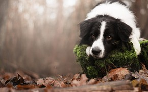 Picture autumn, look, nature, animal, foliage, moss, stump, dog, dog, the border collie