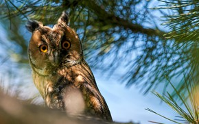 Picture branches, nature, bird, needles, long-eared owl, Kalin Botev