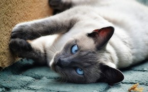 Picture cat, cat, look, pose, background, tile, paws, lies, Tomcat, Kote, Siamese, blue-eyed, cross-eyed, Thai, color-point