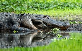 Picture reflection, crocodile, pond