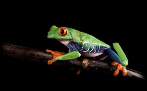 Picture look, macro, pose, frog, branch, black background, green, on the branch, composition, red-eyed tree frog