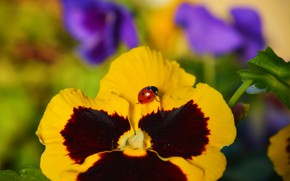 Picture Macro, Pansy, Insect, Macro, Pansies