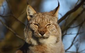 Picture face, branches, portrait, lynx