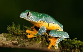 Picture frog, branch, whimsical tree frog, fringed leaf frog