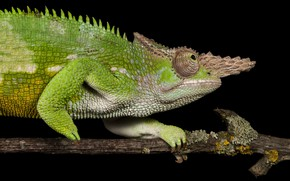 Picture green, chameleon, branch