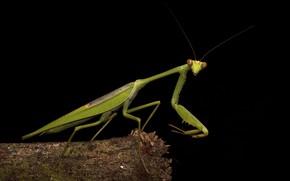 Picture macro, green, mantis