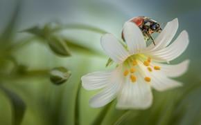 Picture flower, macro, nature, pollen, ladybug, beetle, stamens, buds