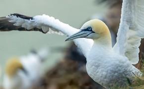 Picture look, bird, portrait, wings, stroke, the Northern Gannet
