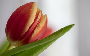 Picture flower, macro, Tulip