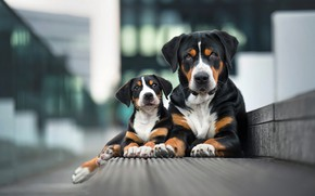 Picture dogs, look, the city, pose, background, two, portrait, paws, border, pair, puppy, a couple, Duo, …