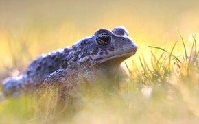 Picture grass, look, light, background, frog, toad, bokeh
