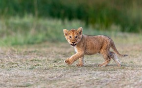 Picture nature, background, baby, walk, lion, lion