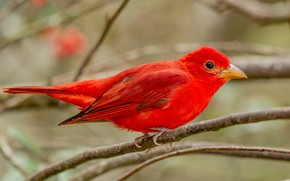Picture branches, background, bird, red, bright
