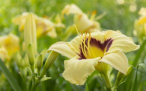 Picture macro, yellow, daylilies