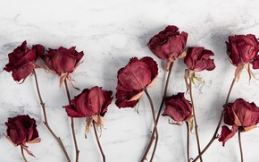 Picture wallpaper, red, flowers, blur, roses, white background, stems, dry, dried, 4k ultra hd background