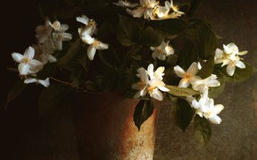 Picture light, the dark background, pot, Jasmine