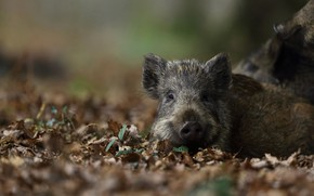 Picture look, leaves, nature, background, baby, lies, boar, face, cub, hog, pig, pig, piggy