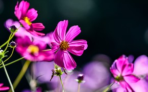 Picture light, flowers, the dark background, bright, pink, bokeh, cosmos