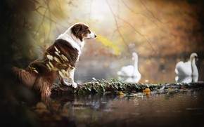 Picture lake, dog, swans