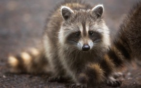 Picture look, tail, raccoon, cub, face