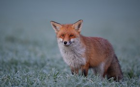 Picture grass, look, background, Fox, red