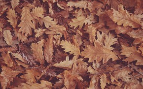 Picture autumn, dry leaves, oak leaves