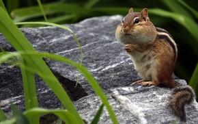 Picture fur, Chipmunk, rodent, cheeks