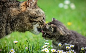 Picture licks, chamomile field, cat with kitten, tenderness
