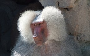 Picture face, monkey, baboon