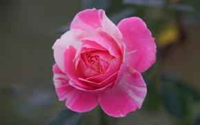 Picture pink, rose, petals, Bud, bokeh