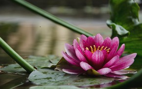 Picture flower, background, water Lily