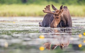 Picture summer, look, face, water, reflection, shore, bathing, drink, pond, moose