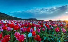 Picture field, the sun, rays, landscape, flowers, nature, spring, morning, Scotland, tulips, festival, Abbotsford