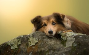 Picture look, face, leaves, background, stone, moss, dog, puppy, lies, collie, sheltie