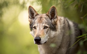 Picture greens, look, face, leaves, nature, background, wolf, portrait, dog, handsome, dog, bokeh, wolf, wolf dog …