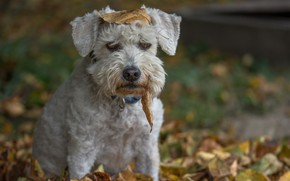 Picture autumn, leaves, mood, dog