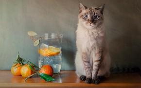 Picture cat, cat, oranges, Bank, still life