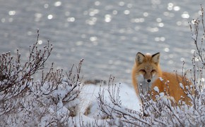 Picture snow, background, winter, bokeh, pond, branches, Fox