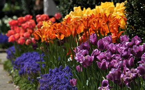 Picture tulips, buds, Muscari, hyacinth mouse
