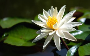 Picture white, flower, leaves, lake, pond, petals, white, pond, Nymphaeum, water Lily