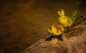 Picture birds, a couple, ducklings, Chicks, two duckling