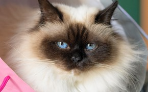 Picture look, muzzle, blue eyes, fluffy, Burmese