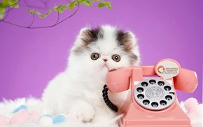 Picture cat, look, pose, kitty, background, lilac, muzzle, phone, Persian, extreme, Studio