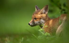 Picture portrait, Fox, face, green background, Fox, Fox