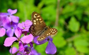 Wallpaper Macro, Butterfly, Macro, Purple flowers, Butterfly, Purple flowers