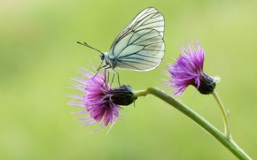 Picture butterfly, flowers, belyanka
