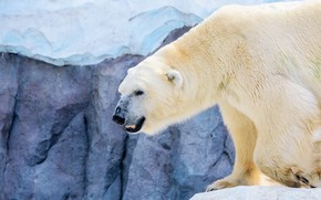 Picture winter, look, snow, stone, ice, polar bear