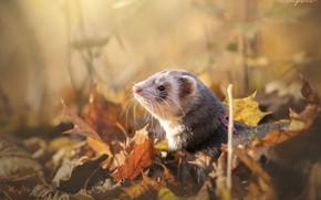 Picture autumn, leaves, ferret, by MyosotisPhoto