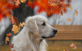 Picture autumn, look, background, each, dog