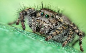 Picture eyes, macro, surface, pose, green, background, legs, spider, hairy, striped, turquoise, jumper, jumper, spider, hairy, ...
